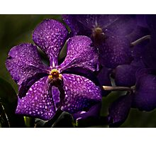 Purple Orchid Photographic Print