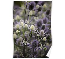 Sea Holly: Eryngium Lavender and white thistle like flowers Poster