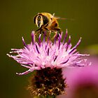 Pollinating hoverfly on a pink Thistle by Neil Clarke