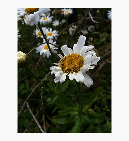 Lovely Daisies at the side of the beach Photographic Print