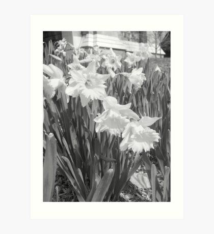 Daffodils in Black and White Art Print