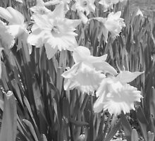 Daffodils in Black and White by elizabethtarde