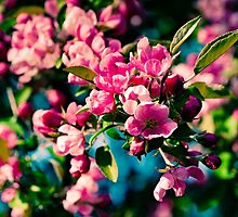 Pink Crab Apple Flowers by luckypixel