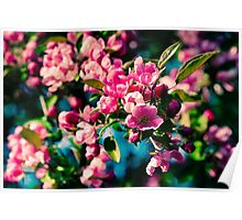 Pink Crab Apple Flowers Poster