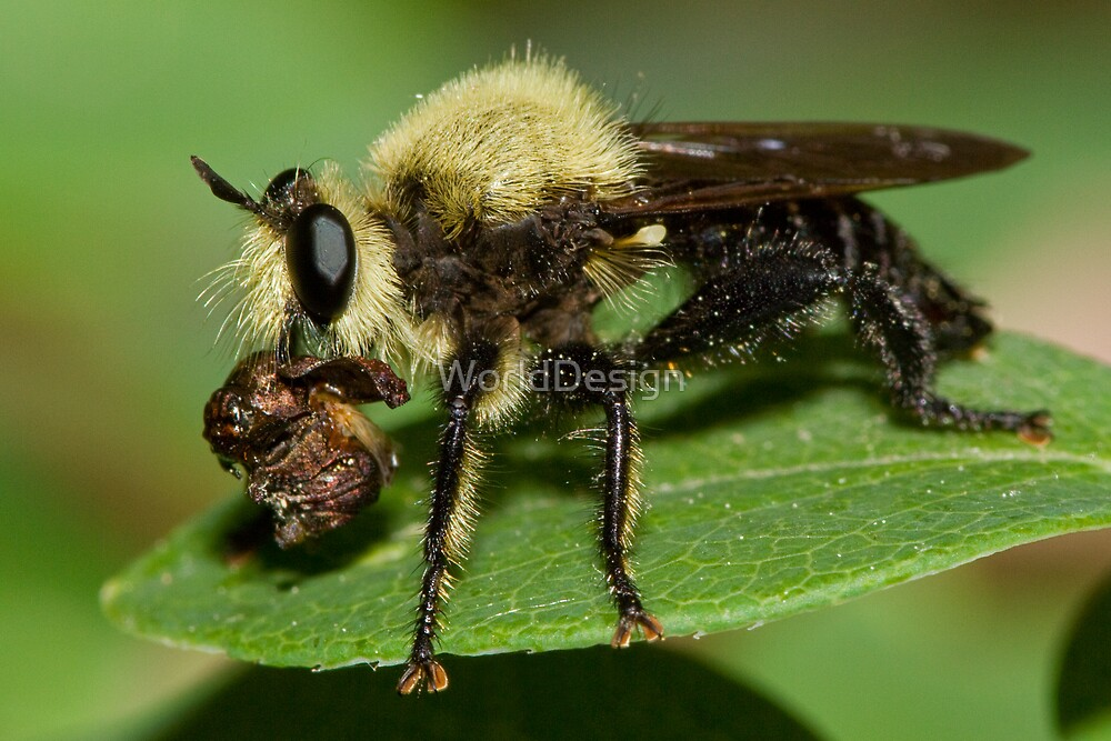 Robber Fly with Lunch by Sheri L Gladish