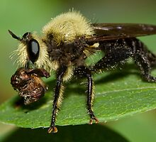 Robber Fly with Lunch by William C. Gladish
