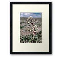 Flower on Bogong High Plains 2000 12150004  Framed Print