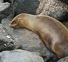 Sea Lions5  by bulljup