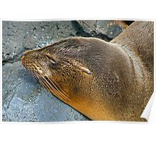 Sea Lions8 Poster