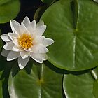 Water Lily by JimGuy