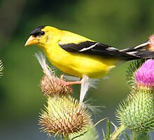 An american goldfinch by jozi1