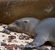 Sea Lion Pup by bulljup