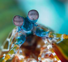 Mantis shrimp by paulcowell