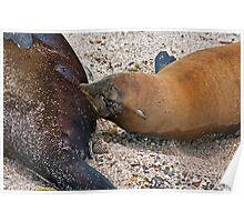 Sea Lion pup feeding Poster