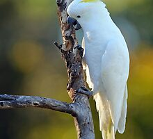 Sulphur Crested Cockatoo. Cedar Creek, Australia. (2) by Ralph de Zilva