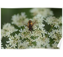 Hoverfly on white flower Poster