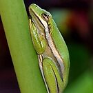 Little Green Tree Frog by Kathy Baccari