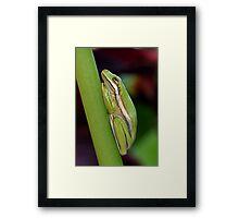 Little Green Tree Frog Framed Print