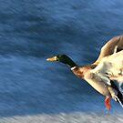 Flying Duck by Janet Rymal