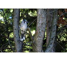 The Elusive Bluejay Photographic Print