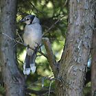 The Elusive Bluejay v. 2 by Barry W  King