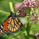 A Michigan Monarch by jozi1