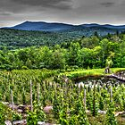 The Grape Vines_HDR by Paul Kepron