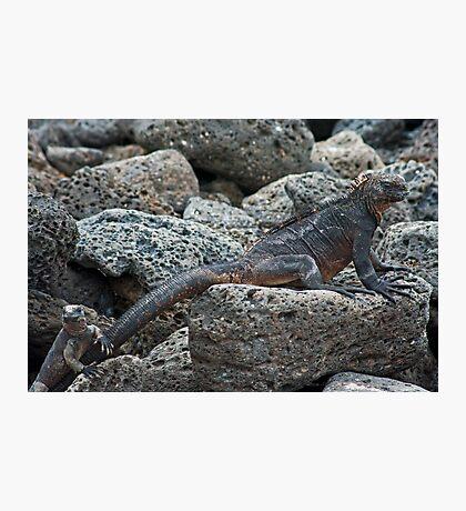 Marine Iguanas Photographic Print