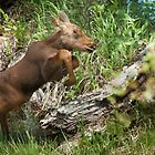 Wildlife Olympics - Hurdles... Days Old Moose Calf by A.M. Ruttle