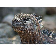 Marine Iguana6 Photographic Print
