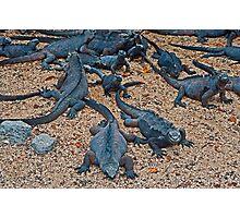 Marine Iguanas3 Photographic Print