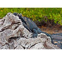Marine Iguana8 Photographic Print