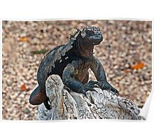 Marine Iguana9 Poster