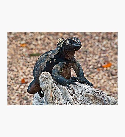 Marine Iguana9 Photographic Print