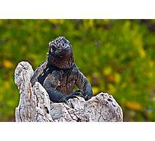 Marine Iguana10 Photographic Print