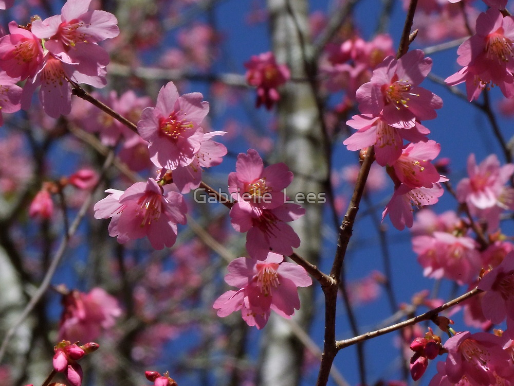 Cherry Blossom by Gabrielle  Lees