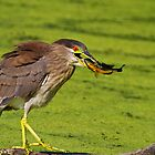 Immature Black Crowned Night Heron Lands Blue Gill  by John Absher