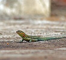Lava Lizard by bulljup