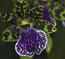 Dramatic Zygopetalum Orchid by Carole-Anne