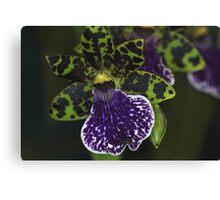 Dramatic Zygopetalum Orchid Canvas Print