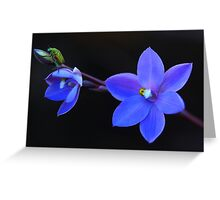 Thelymitra purpurata Greeting Card