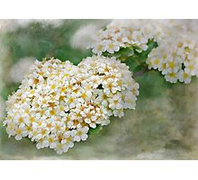 hedgerow blossoms Photographic Print
