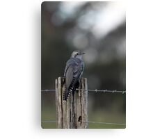 Pallid Cuckoo - NSW far south coast Canvas Print