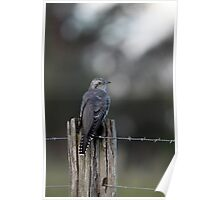 Pallid Cuckoo - NSW far south coast Poster