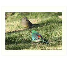 Red-rumped Parrot - male and female Art Print