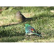 Red-rumped Parrot - male and female Photographic Print