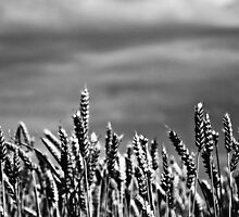 Soft Winds Shake The Barley (mono) by Denise Abé