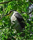 Black Capped Night Heron by Elaine  Manley