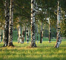 Birchwood by mrivserg