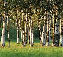 Birch Grove by mrivserg